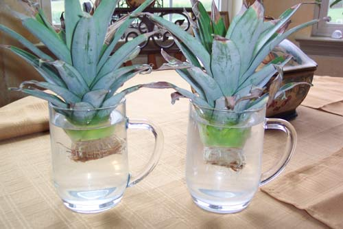 Pineapple_Tops_In_Water