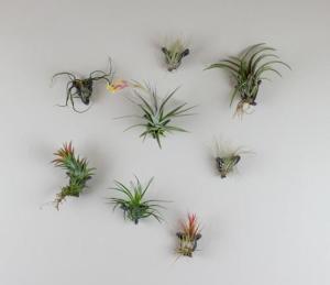 airplants