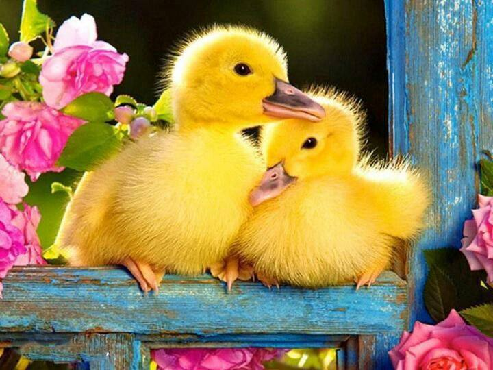 Sweet baby picture frames 2015 - Easter Picture Of Baby Ducklings Country Amp Victorian Times